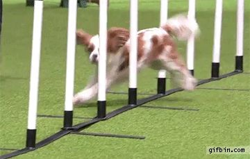 Dog runs into pole during agility event | Best Funny Gifs and Animated Gifs Updated Daily - Gif Bin