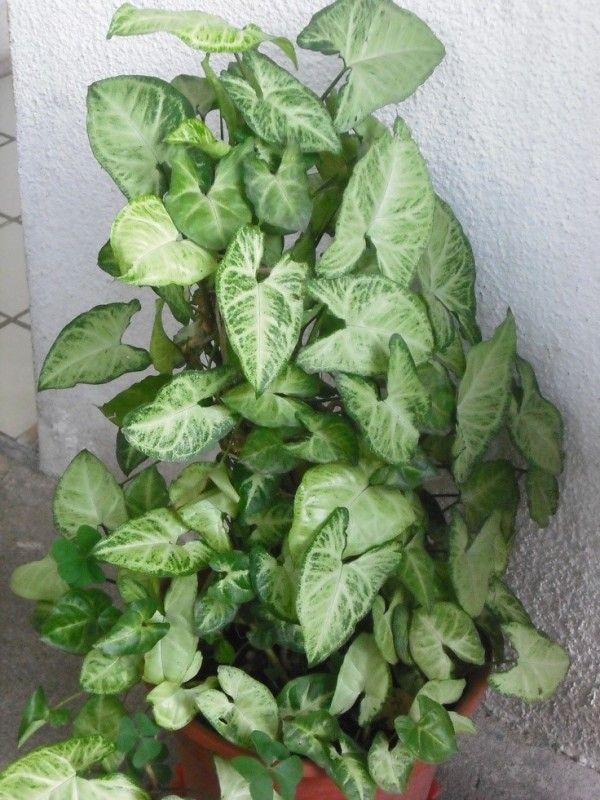 213 best images about plantas de sombra para interiores - Flores de sombra ...