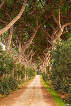 Livorno Tuscany Italy ~  The stone pine (Pinus Pinea), also called Italian Stone Pine, umbrella pine and parasol pine, is native to the Mediterranean region, occurring in Southern Europe, North Africa, and the Levant.