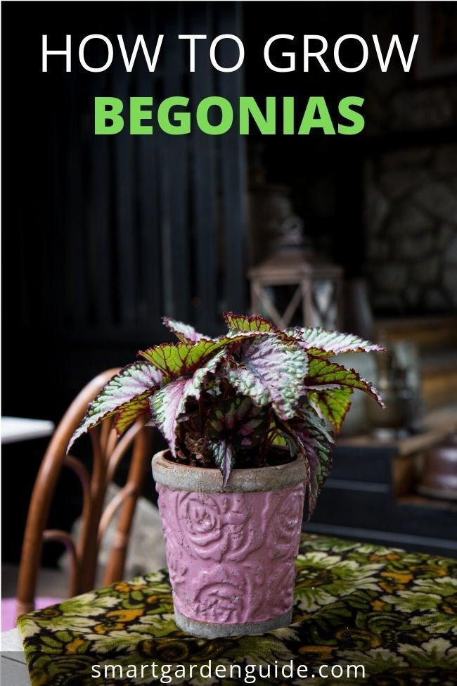 Rex Begonia Care Indoors Simple Tips For Success Indoor Garden
