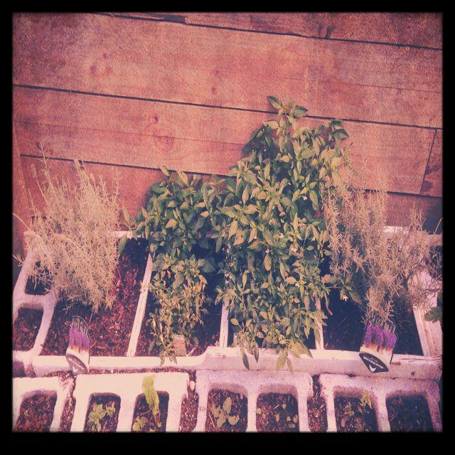 My lavender/chilli/herbal garden.