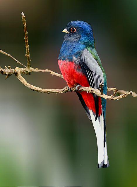 Surucuá-variado, Surucuá-de-peito-azul, Perua-choca, Pata-choca ou Peito-de-moça (Trogon surrucura)