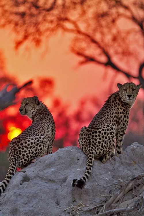 Cheetah couple - In Kwando Sunset - by Marius Coetzee
