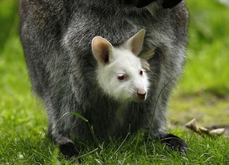 OK, let's get started with this wallaby who was born albino. | This Year's 45 Most Lovable Baby AnimalPictures