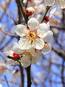 Prunus mume; Winter Plum - Plum blossom is a deciduous tree that starts to flower in mid-winter, typically around January until late February in East Asia. It can grow to 4–10 meters tall. The flowers are 2-2.5 cm in diameter and have a strong fragrant scent. They have colors in varying shades of white, pink, and red.