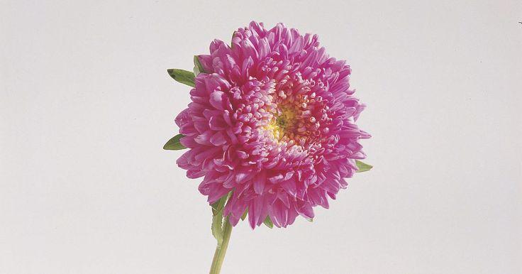 Como cultivar a Áster-da-china (Callistephus Chinensis). Como cultivar a Áster-da-china (Callistephus Chinensis). Esta planta nativa chinesa é popular por suas lindas flores em cores ricas e profundas. Como crisântemos, ela vem em uma variedade de formas de flores, incluindo pompom e flores tipo aranha. Em um maravilhoso final de verão ou início de outono, a Áster-da-china cresce de 15 a 90 centímetros ...