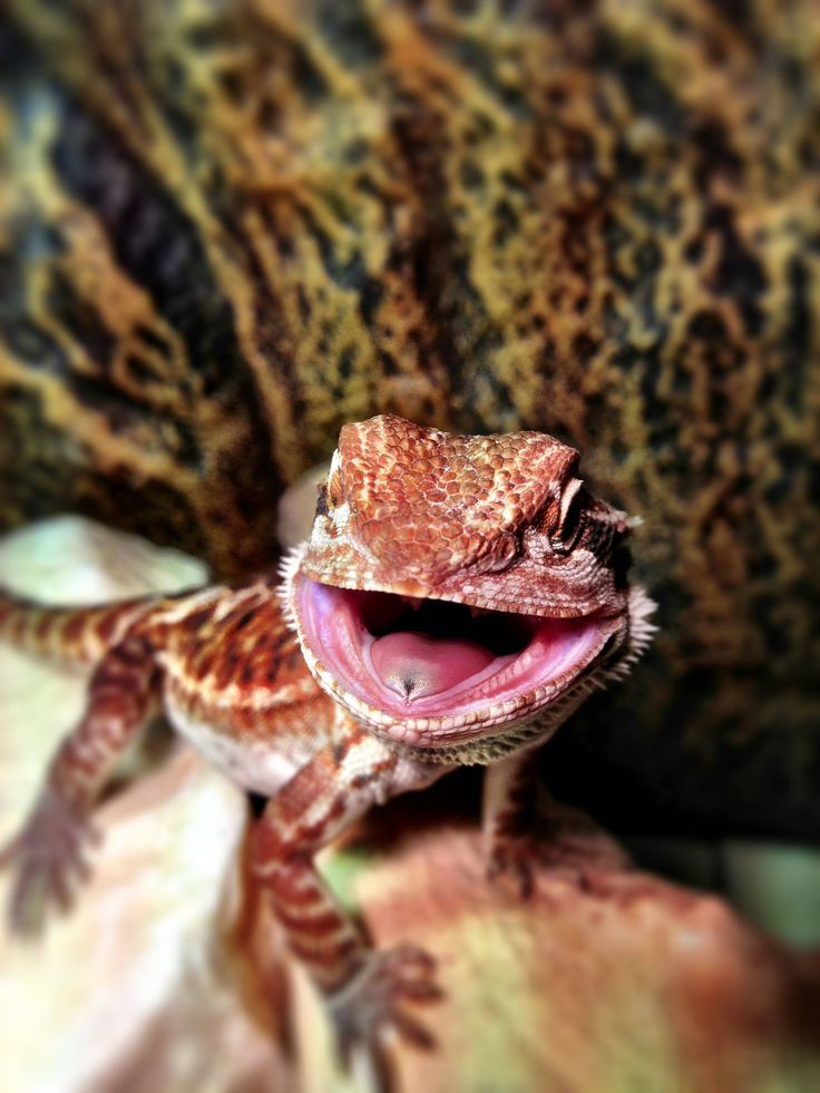 how to make a bearded dragon happy