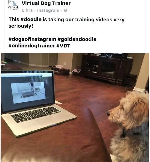 Arizona Goldendoodle dog trainer