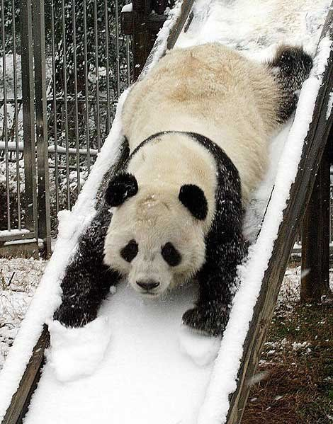 "Panda on Snowy Slide.... ""You Know You Want To"" :-) #makesmehappy @White Stuff UK"