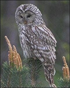 Finland - Bird Watching,Resources for Bird Watching by the Fat Birder