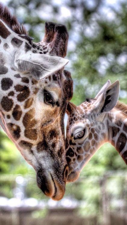 So cute! How can you not love giraffes?