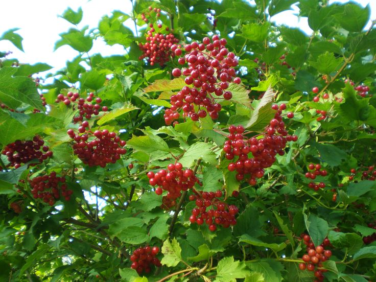 edible-berries-that-mature-in-september