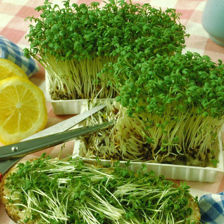 Могу сказать с гордостью - собрала уже четыре урожая кресс-салата. Основываясь на своем опыте расскажу, как выращивать кресс-салат дома на подоконнике.