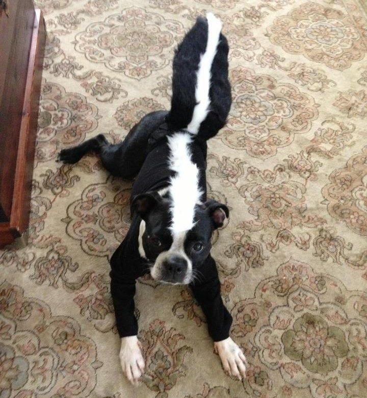 109 best DIY Dog Costume Ideas 2018 images on Pinterest