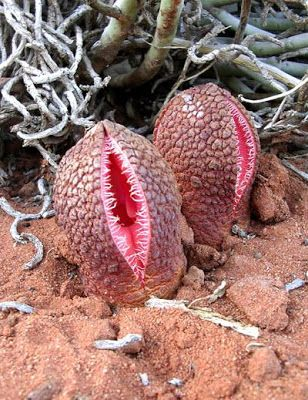 Eight of the World's Most Unusual Plants ~ UNUSUAL THINGs