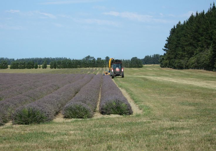 Harvesting the first row of lavender - 2