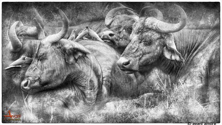 In Stillness.  #Africa Buffalo in the #MasaiMara. Photo and Art by #avaniamore  www.avaniamore.com