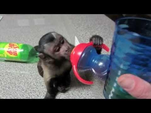 Capuchin Monkey as a pet