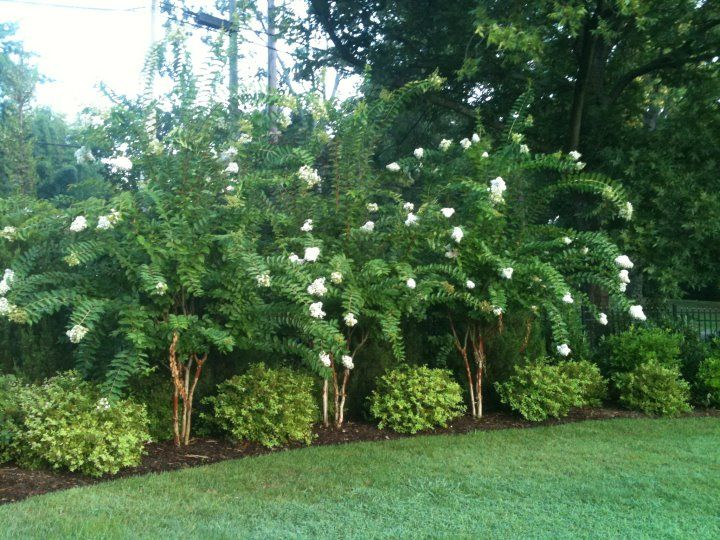 Landscaping Around A Group Of Trees : Crepe myrtle landscaping privacy hedge backyard