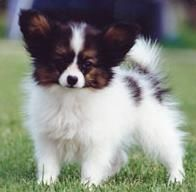 Papillon -- This breed is a friendly little dog and shows no aggression, it is clean and easy to manage in a small back yard or unit. It loves company, is very intelligent and can be taught tricks or obedience.