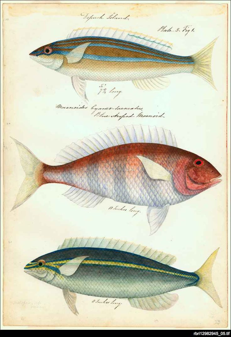 'Depuch Island' one of the plates from 'Watercolours of fish from Australian waters' by James Barker Emery. Emery entered the Royal Navy in 1808 and had a colourful career that included two circumnavigations of the world surveying on the coast of east Africa - including work on the suppression of slavery - and some months as an unsanctioned 'governor' in Mombasa. He joined HMS Beagle in 1837, under Captain Wickham for the survey of the Australian coast.