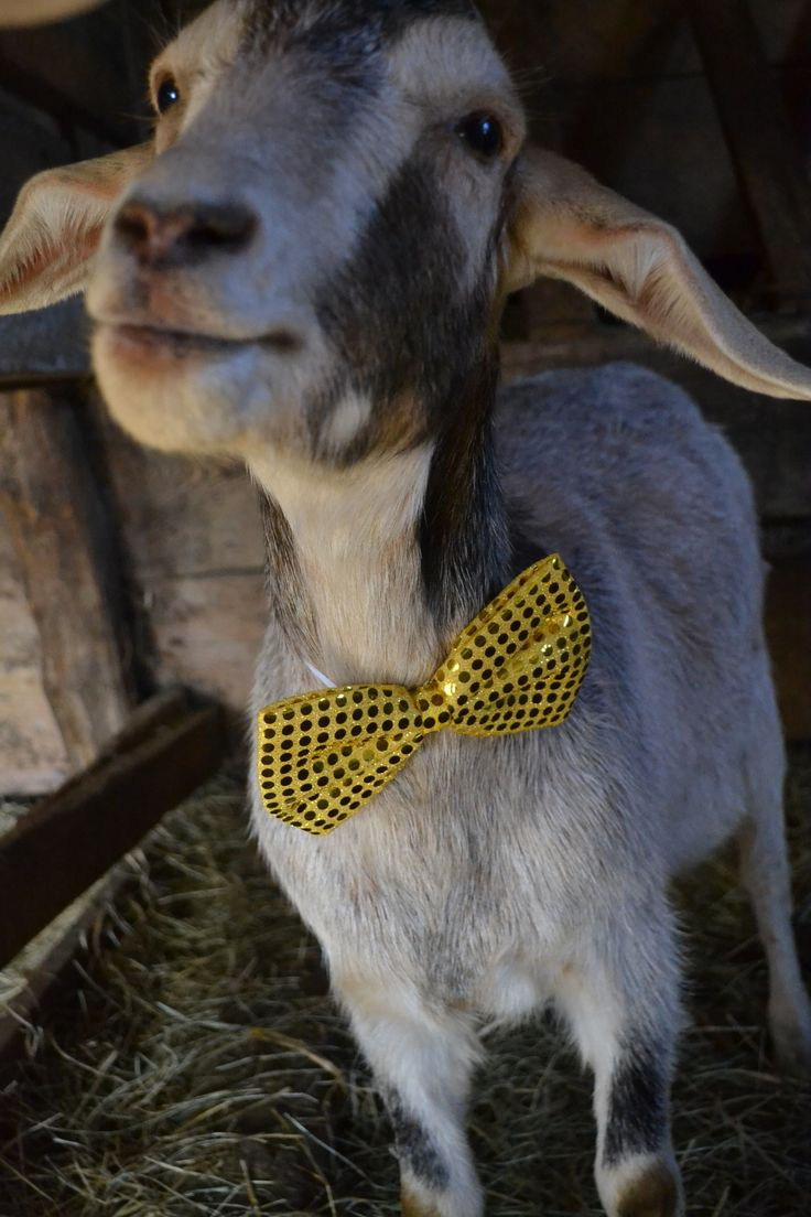 Goat wearing bow tie For the PB  2016  28 december How to wear Holiday