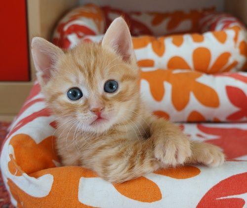 Tiikerililjan eurooppalaiskissat  Pienimuotoista kissakasvatusta - rakkaudesta eurooppalaisiin!