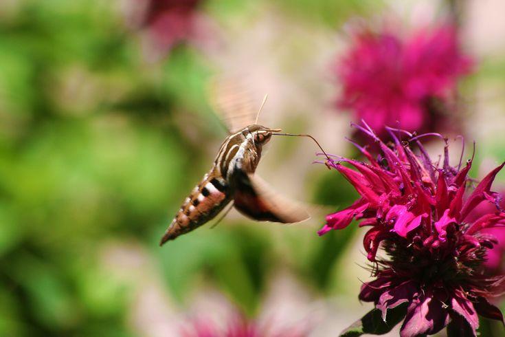 humming bird moth | hummingbird moth