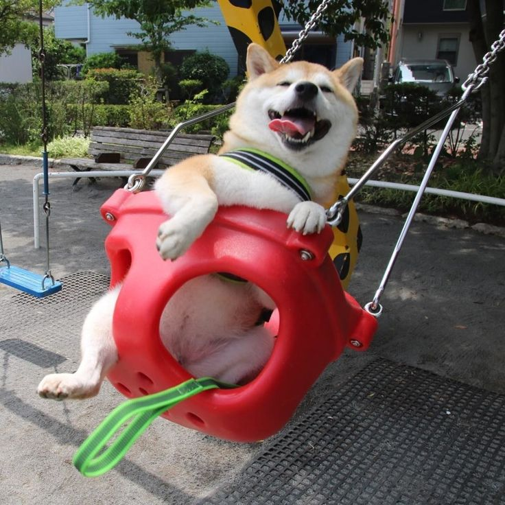 ブランコを楽しむ柴犬うにちゃんがかわいすぎて幸せ                                                                                                                                                                                 もっと見る