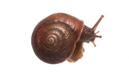 This species is the Kuringai Carnivorous Snail - Strangesta 'Kuringai'. It is rare and endangered but as yet unlisted.