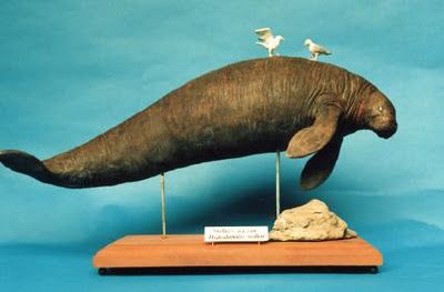 Steller's Sea Cow Hydrodamalis gigas extinct   Steller's Sea Cow ( Hydrodamalis gigas) ~ World Extinct Animals