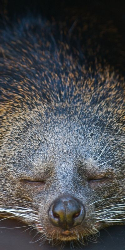 Binturongs, also known as bearcats live in rainforests and are found in South East Asian countries such as Vietnam & Thailand.