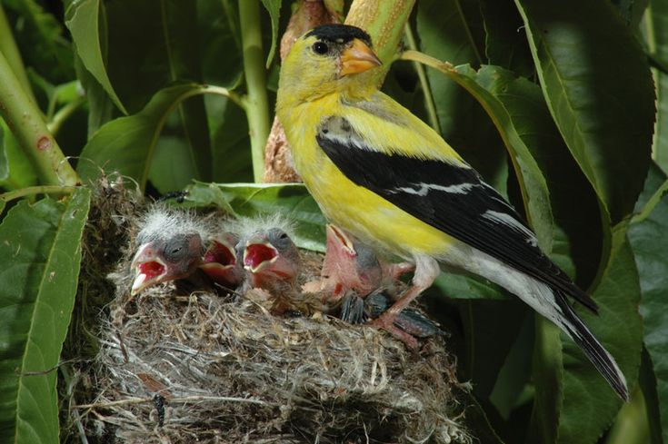 American goldfinch baby - photo#5