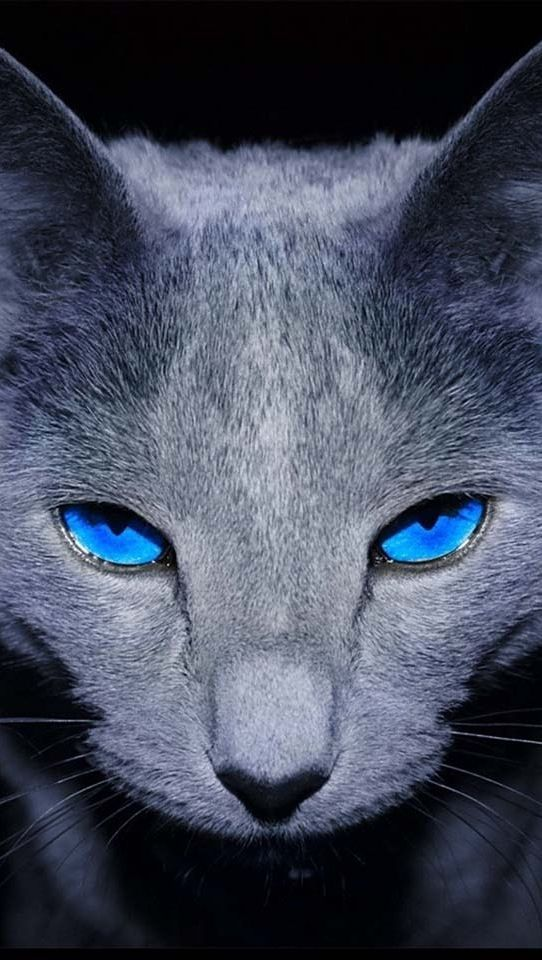 Cat with unusual piercing blue eyes. #pets #cats