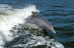 Google Image Result for http://upload.wikimedia.org/wikipedia/commons/thumb/a/a6/Bottlenose_Dolphin_KSC04pd0178.jpg/250px-Bottlenose_Dolphin_KSC04pd0178.jpg