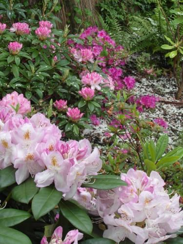 Rhododendron 'Lady Mitford', rhododendron 'gomer waterer' et azalee 'beethoven'. Conception Canopées.