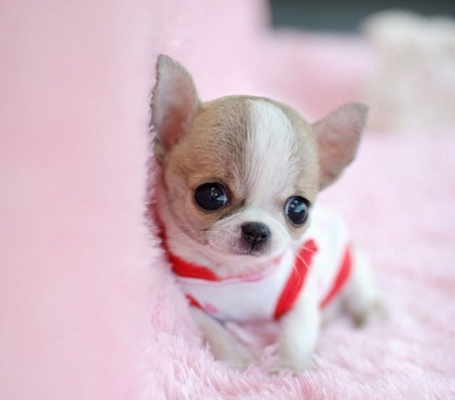 Image Result For Cute Chiwawa Puppies Chihuahua With Images