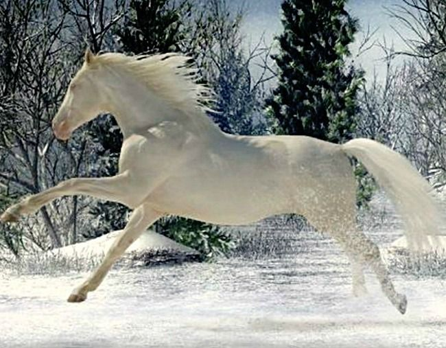 Cremello Czech warmblood mare, Scarlet.