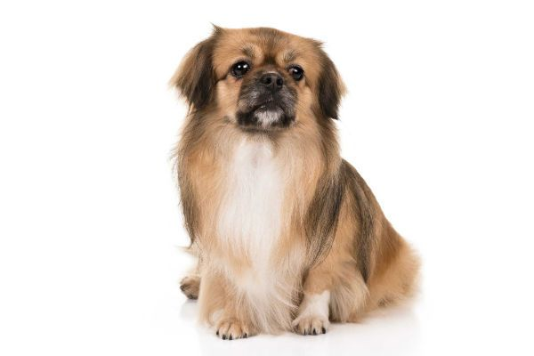 7 Things You Didn T Know About The Tibetan Spaniel Dog Breeds