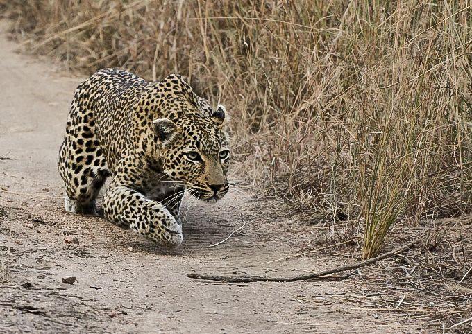 leopard crawl   sabi sabi