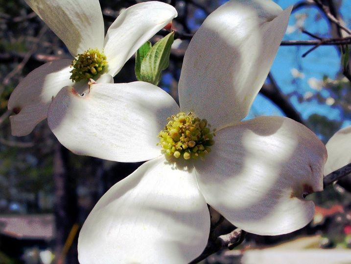 The Crucifixion Legend Of The Dogwood Tree Dogwood Trees Dogwood Dogwood Flowers