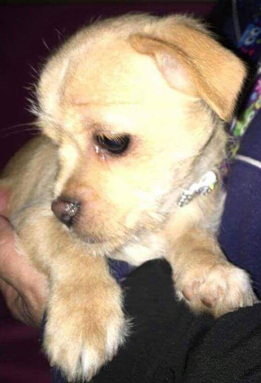 Cheeks dog for Adoption in Alta Loma, CA. ADN-584867 on PuppyFinder.com Gender: Female. Age: Baby