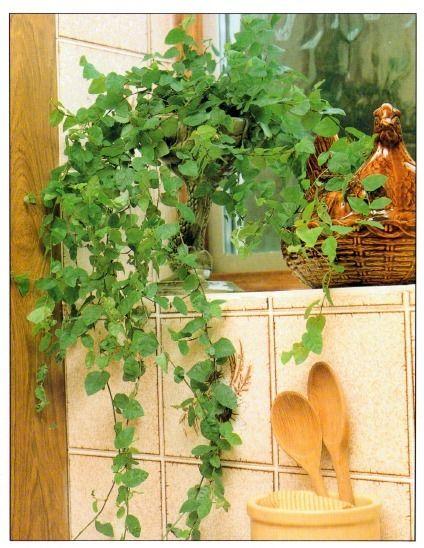 propagating Creeping Fig - Ficus pumila