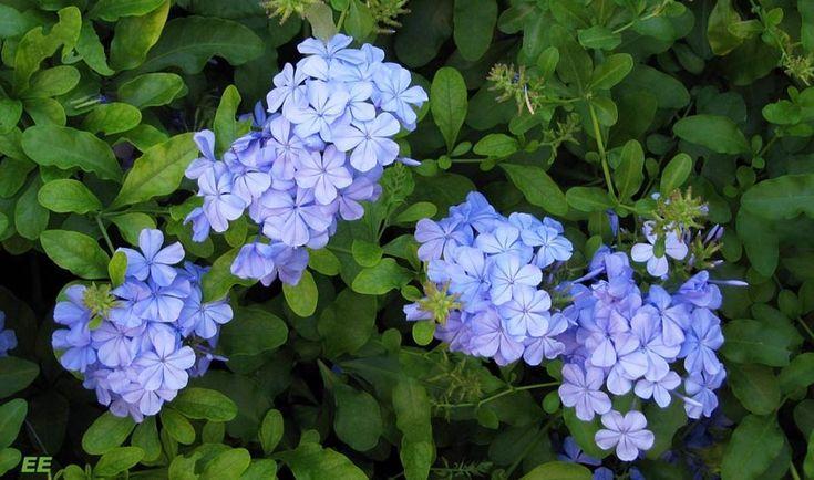 Celestina, planta trepadora de flores azules