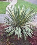 Variegated Spanish Dagger (Yucca gloriosa 'Variegata') - Monrovia - Variegated Spanish Dagger (Yucca gloriosa 'Variegata')