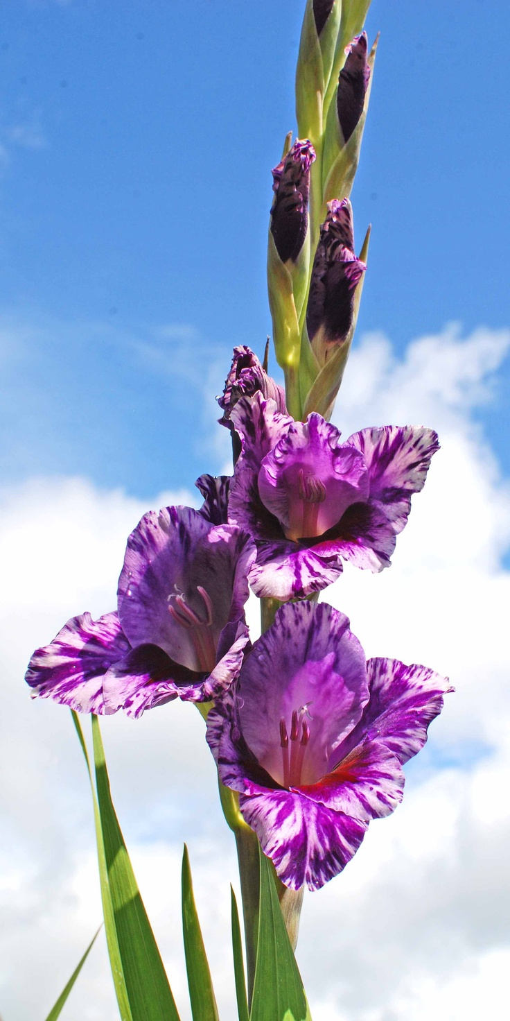 1000 Images About Gladiolus On Pinterest Gardens