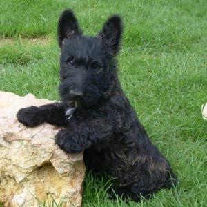 Cachorro de Scottish Terrier
