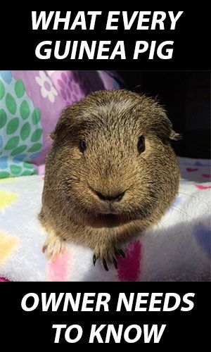 What Every Guinea Pig Owner Needs to Know