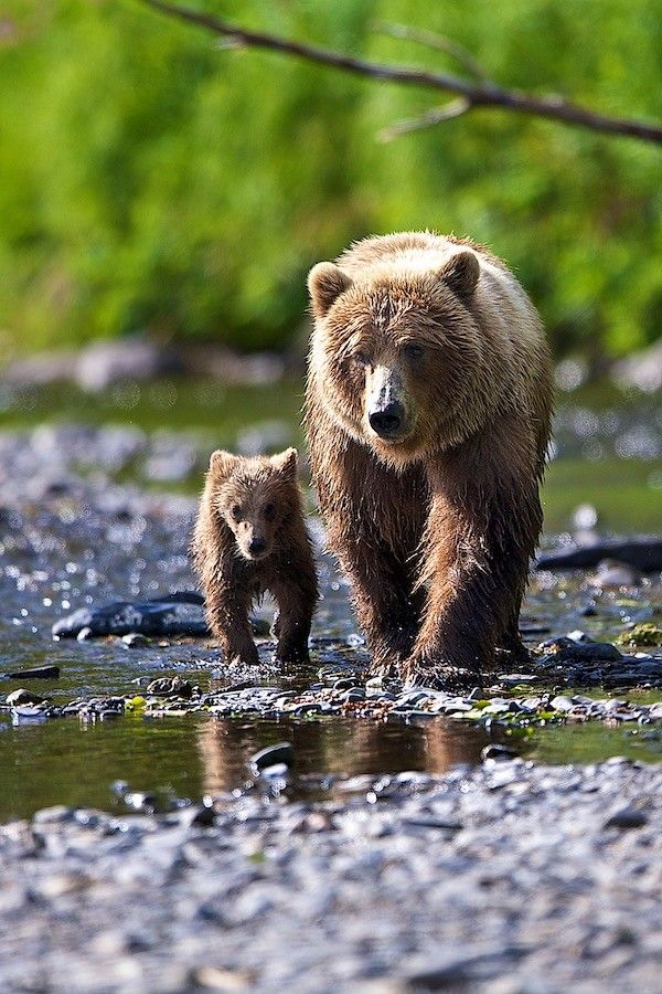Alaskan Brown Bear Mother & Cub. I LOVE BEARS