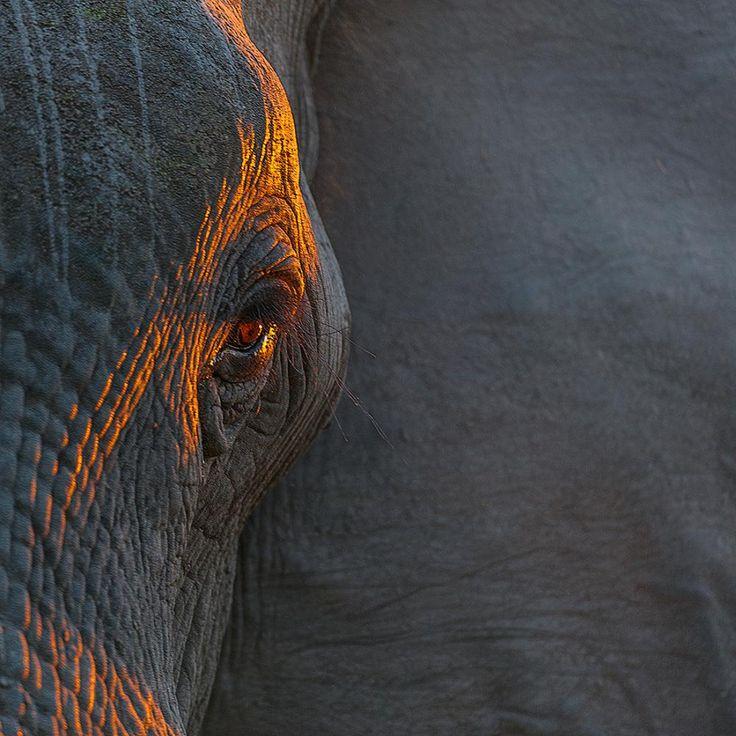 Последний луч заходящего солнца осветил глаз слона #Африка #Ботсвана #Глаз слона #Дельта окаванго #Сергей иванов#Африка #Ботсвана #Глаз слона #Дельта окаванго #Сергей иванов Photographer: Сергей Иванов